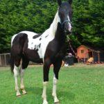 Американский конь