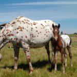 Аппалузская порода лошадей