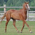 Рыжая лошадка бежит