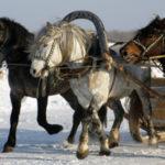 Мезенских лошадей применяют для перевозки грузов