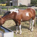 Лошадь пьет воду