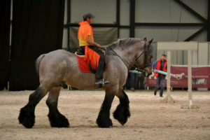 Бельгийская порода лошади