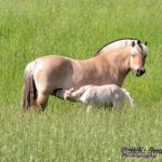 Кобыла и жеребенок породы фьорд