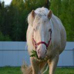 Лошадь беларусской породы