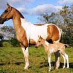 Пятнистые лошади