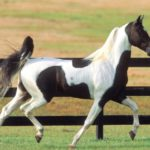 Пегая лошадка с черными пятнами