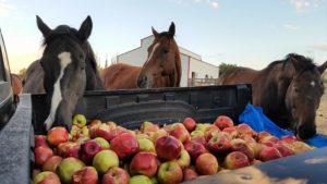 Лошади питаются яблоками