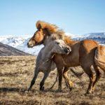 Спаривание молодого коня и кобылы