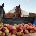 Лошадям дают яблоки