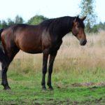 Темный-бурый окрас лошади