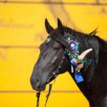 Черный конь в конных соревнованиях