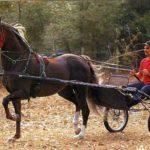 Морган лошадь в конном спорте