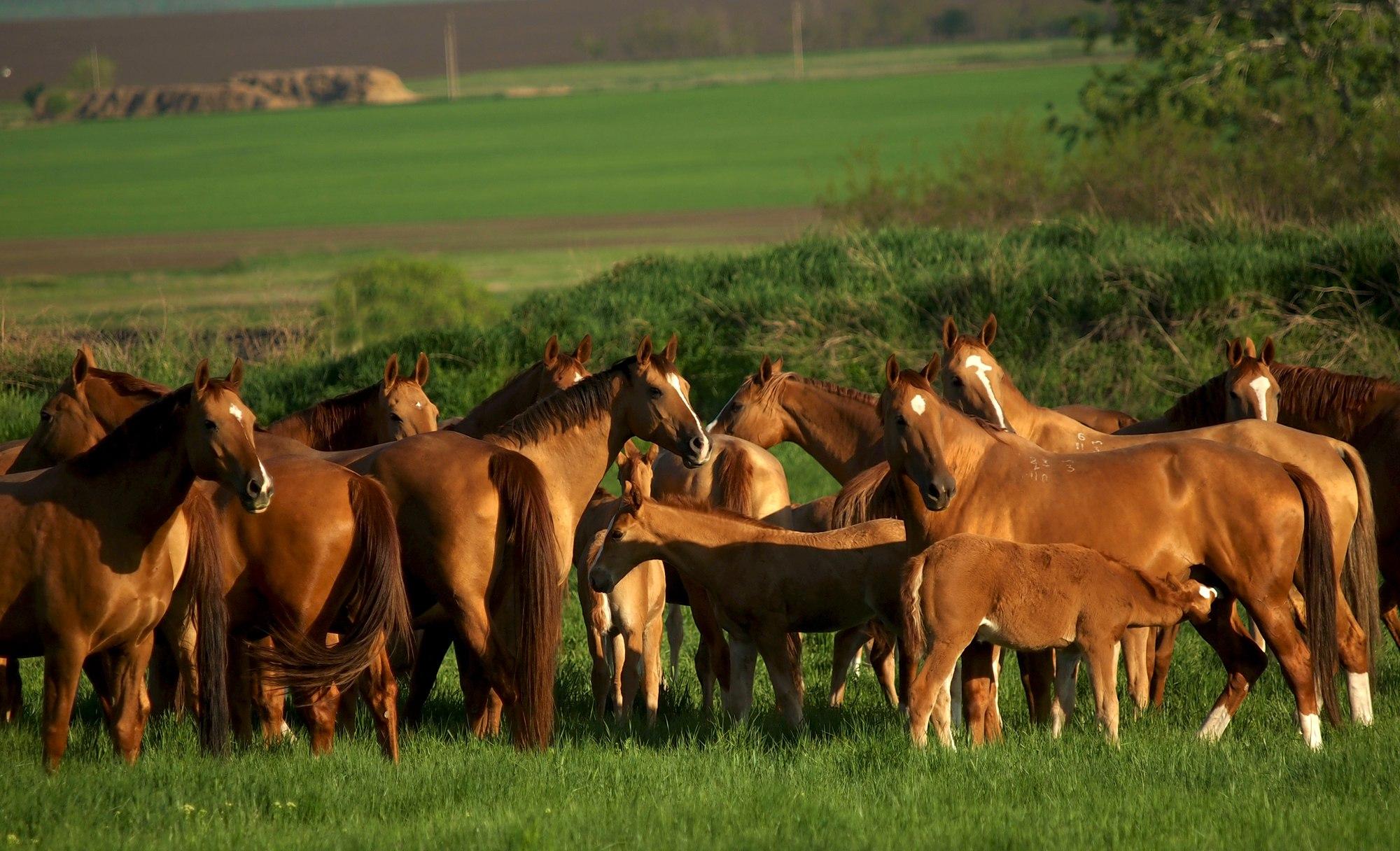 Табун лошадей донской породы