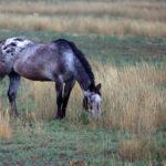 Лошадь породы аппалуза пасется