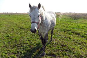 Лошадь мезенской породы