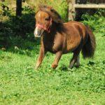 Маленькая лошадка-Фалабелла