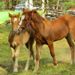 Маленькие лошади