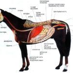 Внутреннее строение лошади