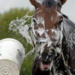 Лошадь моют водой и специальными средствами