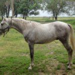 Серая лошадь стоит