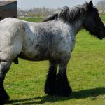 Конь тяжеловес