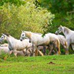 Табун липпицианских лошадей