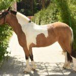 Конь пегой масти