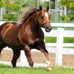Американская лошадь скачет