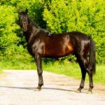 Красивая верховая лошадь