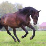 Конь караковой масти бежит