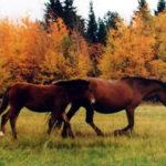 Лошади мезенской породы