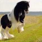 Конь породы тинкер