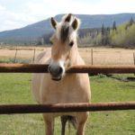 Лошадка породы фьорд
