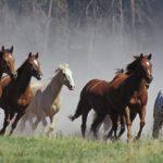 Табун лошадей бежит