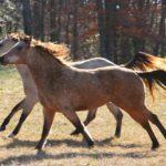 Лошади бегут рысью