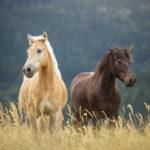 Молодые необъезженные лошади
