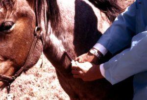 У лошади анемия