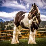 Конь породы шайр