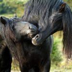 Фризские лошади