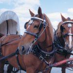Шоры для лошадей