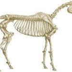Внешний вид скелета лошади