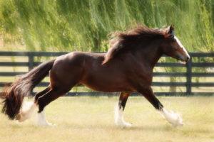 Красивая лошадь шайр