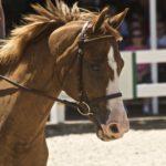 Порода лошади французский сель