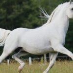 Светло-серый окрас лошади