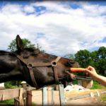 Коня кормят морковью