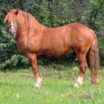Тяжеловозная порода коня