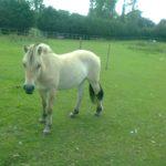 Лошадь фьорд
