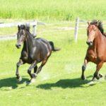 Первый динамичные бег лошадей - рысь
