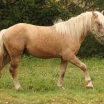 Конь соловой масти песочного оттенка