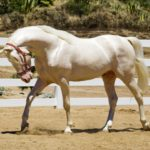 Лошадь передвигается иноходью